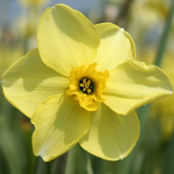 Narcissus 'Skookum'