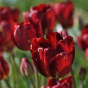 Tulipa 'George Hayward'