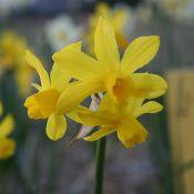 Narcissus 'Oz'
