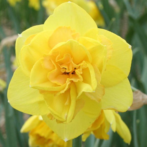 Narcissus 'Baldock'
