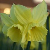 Narcissus 'Thoughtful'