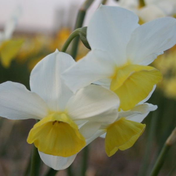 Narcissus 'Merry Bells'