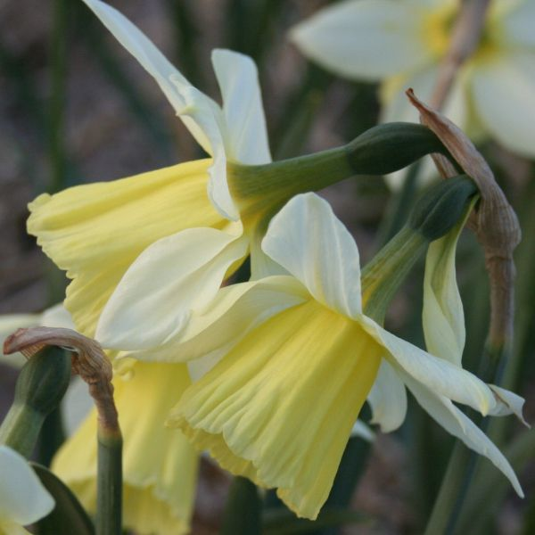 Narcissus 'Johanna'