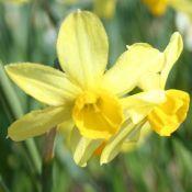 Narcissus 'Rosedown'
