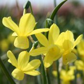 Narcissus 'April Tears'