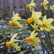 Narcissus 'Beryl'