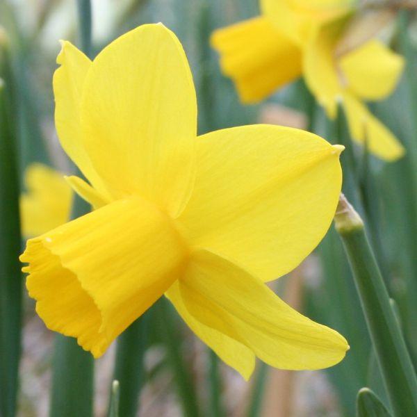 Narcissus 'Elfin Gold'