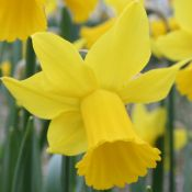Narcissus 'Rival'