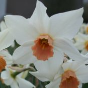 Narcissus 'Swing Wing'