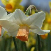 Narcissus 'Delia'