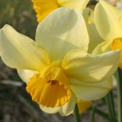 Narcissus 'Larkelly'
