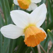 Narcissus 'Penril'