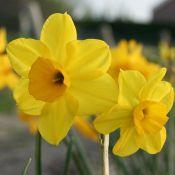 Narcissus 'Sheperds Hey'