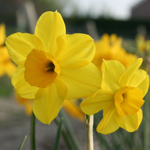 Narcissus 'Sheperds Hey'