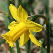 Narcissus 'Sumo Jewel'