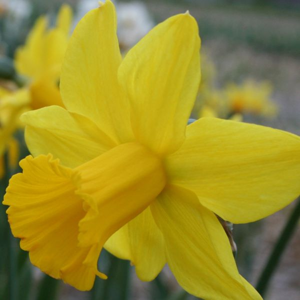 Narcissus 'El Camino'