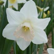 Narcissus 'Delta Flight'