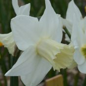 Narcissus 'Frostkist'