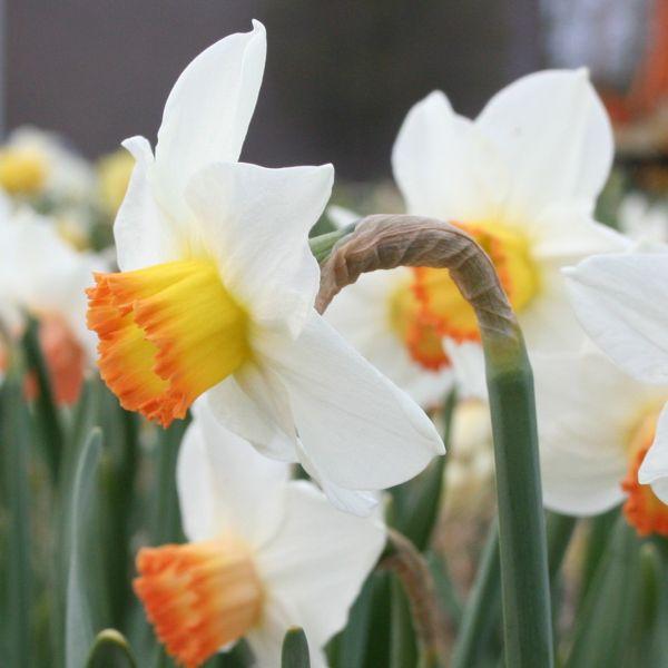 Narcissus 'Georgie Girl'