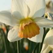 Narcissus 'Swallow Wing'