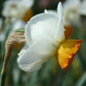 Narcissus 'Interloper'