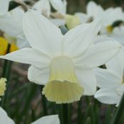 Narcissus 'Kitty'