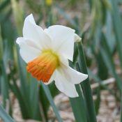 Narcissus 'Bilbo'