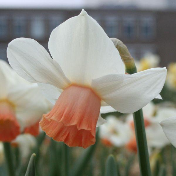 Narcissus 'Betsy Mac Donald'