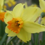 Narcissus 'Andalusia'