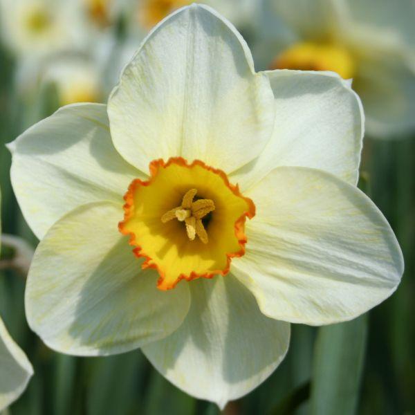Narcissus 'Turncoat'