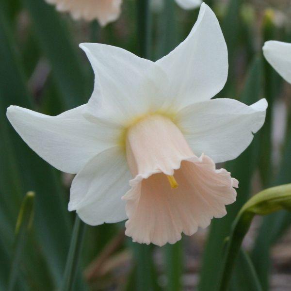 Narcissus 'Lilac Hue'