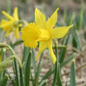 Narcissus 'Treverva'
