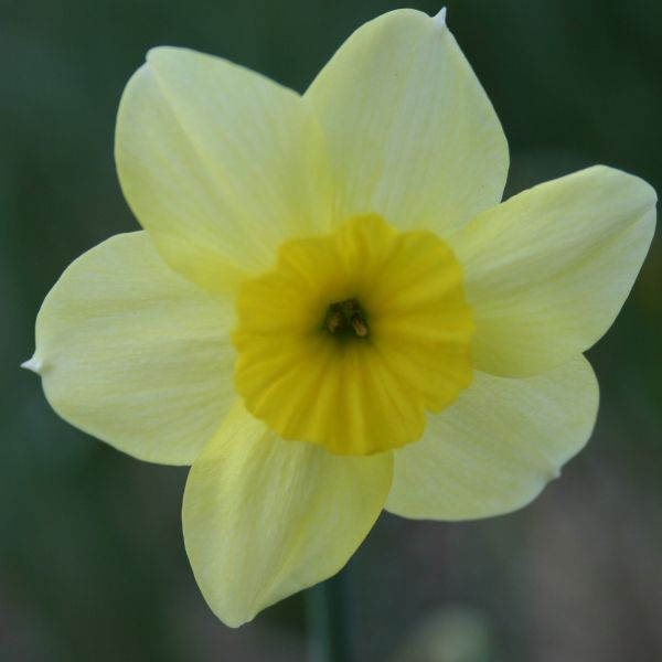 Narcissus 'Rikki'
