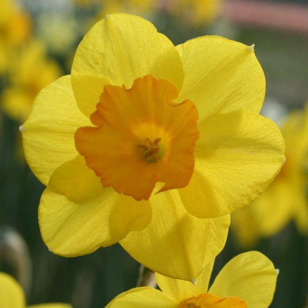 Narcissus 'Walton'