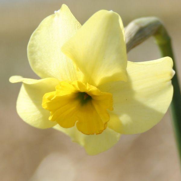 Narcissus 'Clare'