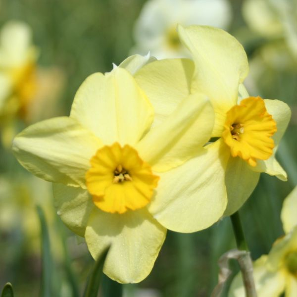 Narcissus 'Bobbysoxer'