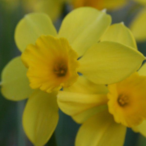 Narcissus 'Bolton'