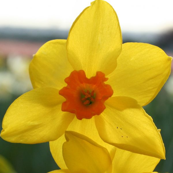 Narcissus 'Bunting'