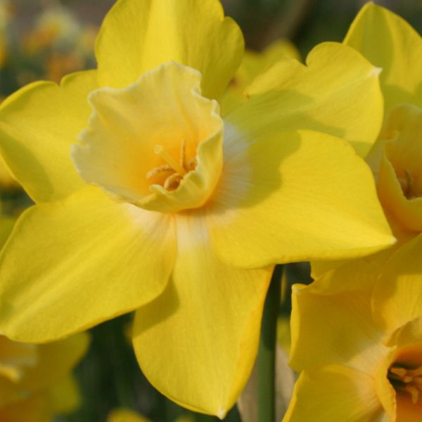 Narcissus 'Life'