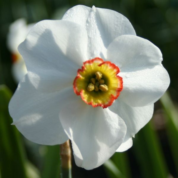 Narcissus 'Cargreen'