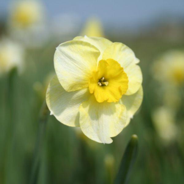 Narcissus 'Bebop'