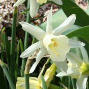 Narcissus 'Kenellis'