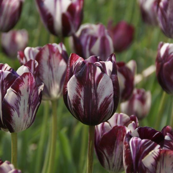 Tulipa 'Insulinde'