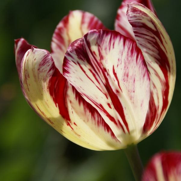 Tulipa 'Julia Farnesse'
