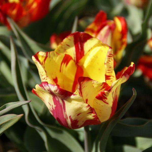 Tulipa 'Saskia'