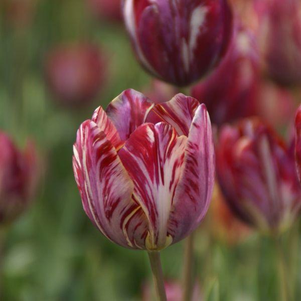 Tulipa 'The Lizard'