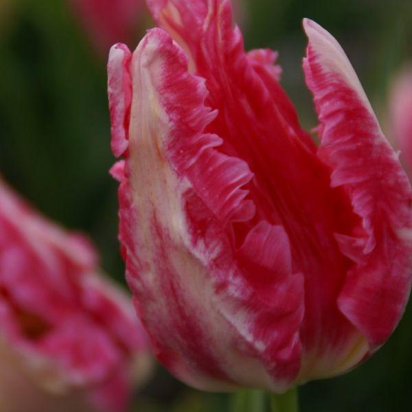 Tulipa 'Gemma'