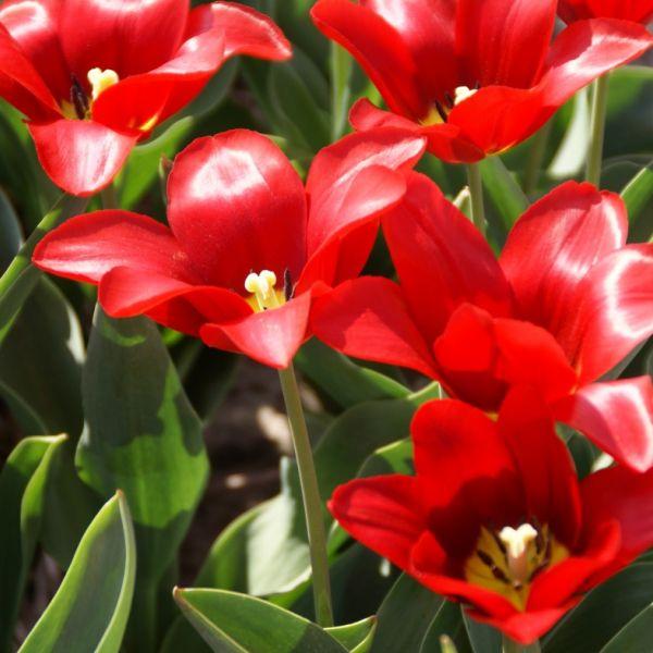 Tulipa 'Artus'
