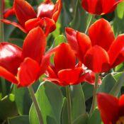 Tulipa 'Cardinal's Hat'