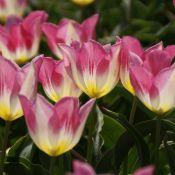 Tulipa 'Cottage Maid'